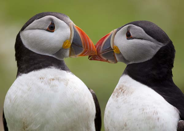 19.) Puffins mate for life.