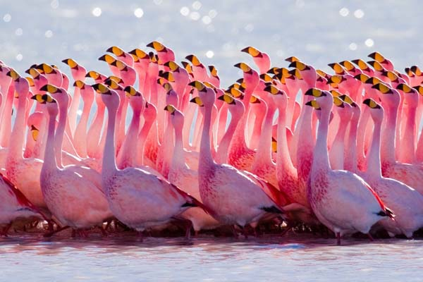 9.) A group of flamingos is called a flamboyance.