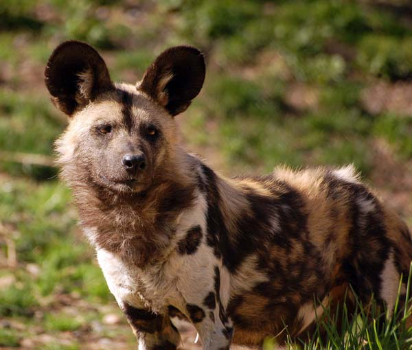 You can't adopt this African painted dog, but you can love her from afar.
