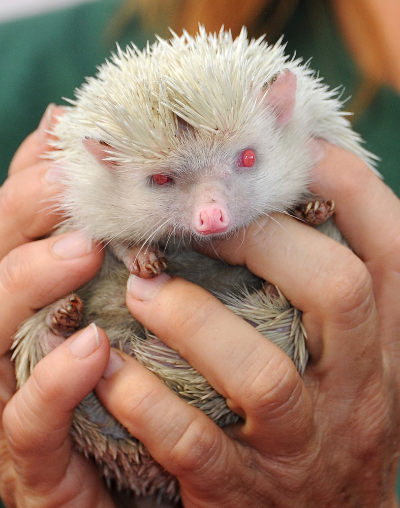 Cute and adorable Hedgehogs