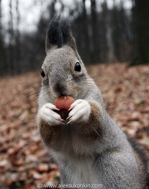12.) Thousands of new trees are planted every year by squirrels ... because they forgot where they hid their nuts.