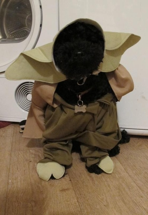 animals dressed as other animals yoda