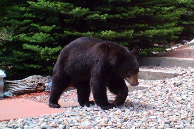 Oh, here comes a bear to check things out. It must be curious about where all of the water has been going too.
