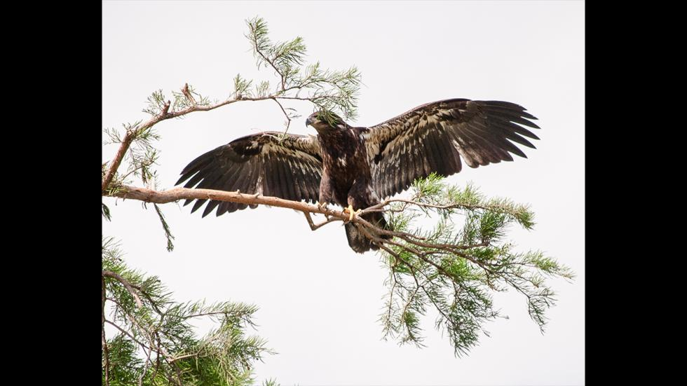 It's amazing out there awesome pictures Nature - Juvenile Bald Eagle 2014