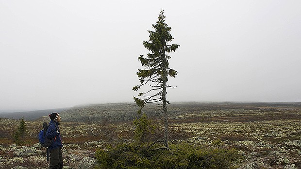 Old things still work perfectlynew things The Great Old Spruce of Sweden still stands after 9550 years
