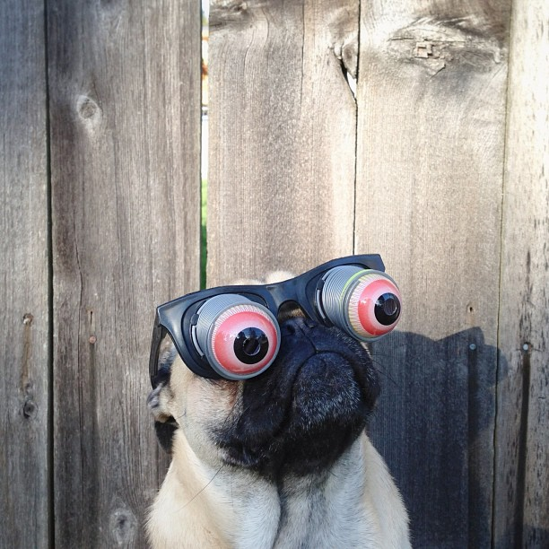 the-most-photogenic-pug-ever