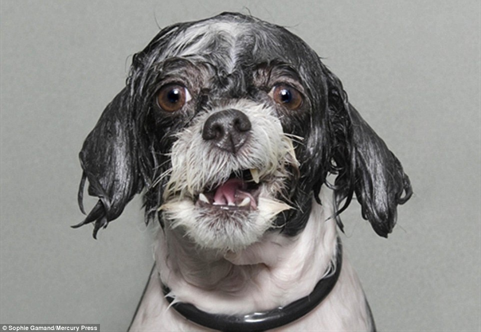 Sophie Gamand won the 2014 Sony World Photograph of the Year with this wonderful portrait of a wet dog in the middle of getting his fur shampooed