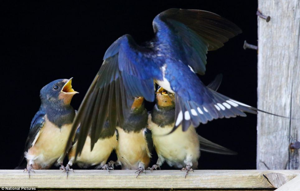 amazing-moments-of-swallow-chicks