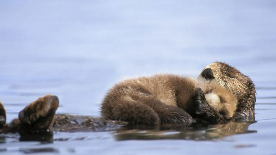 parenting moment  animals love their babies  see otter