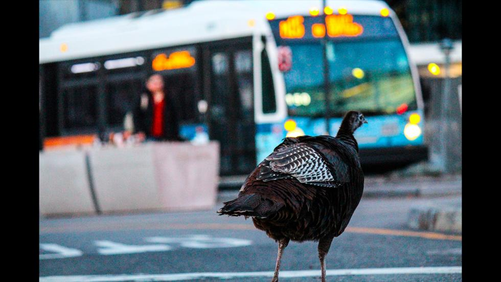 It's amazing out there awesome pictures Urban Turkey Explores Manhattan