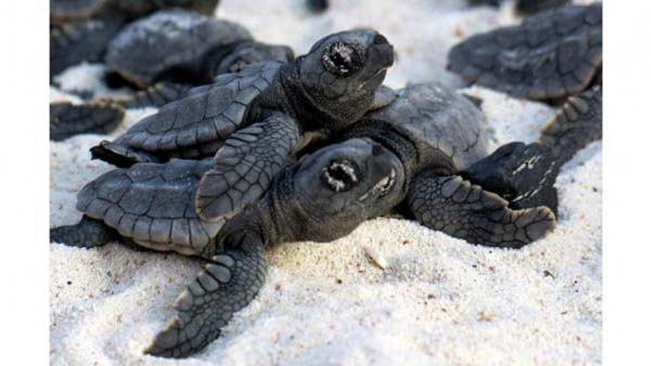 7.) Volunteers once formed a human wall to help baby loggerhead sea turtles to the ocean on the Caribbean island of Bonaire.