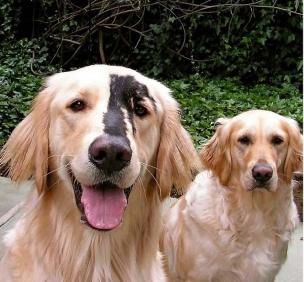 Golden Retrievers and Yellow Labradors sometimes get this genetic mutation in their coat color.