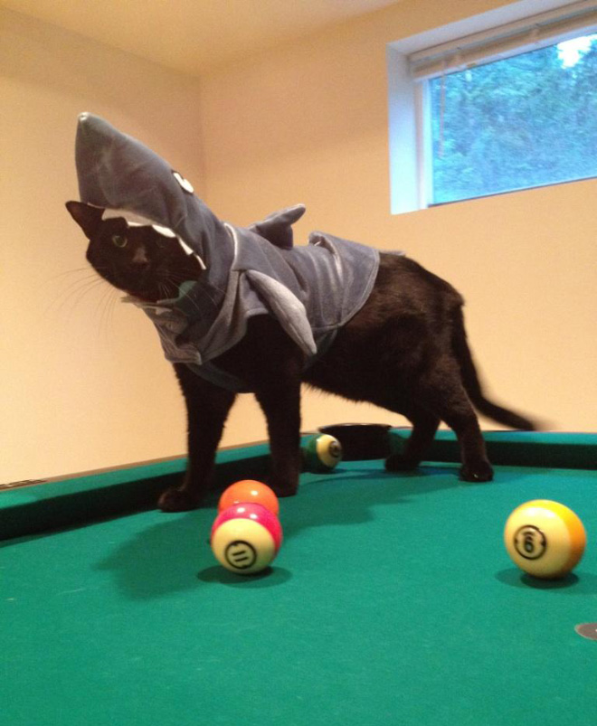 animals dressed as other animals shark cat