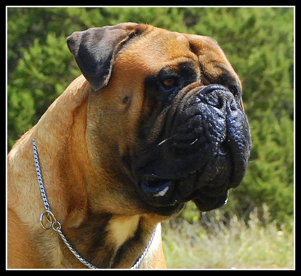 Top 11 Drooling And Slobbering Dogs  Bullmastiff