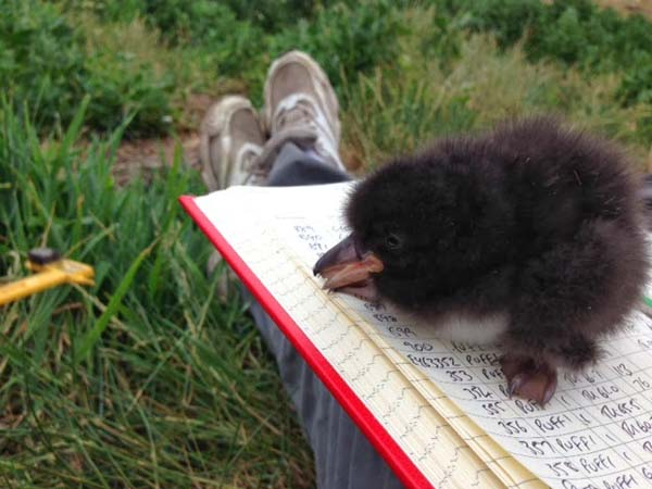20.) A baby puffin is called a puffling.