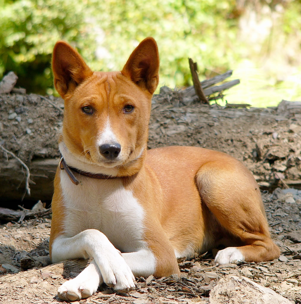 The dumbest dogs ever! Basenji
