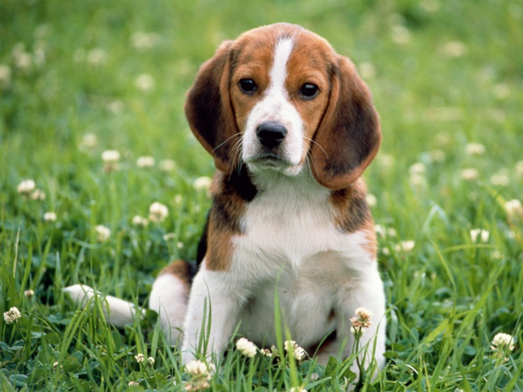 the kindest dog breeds  Beagle