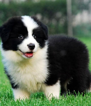 The smartest dog breeds Border Collie