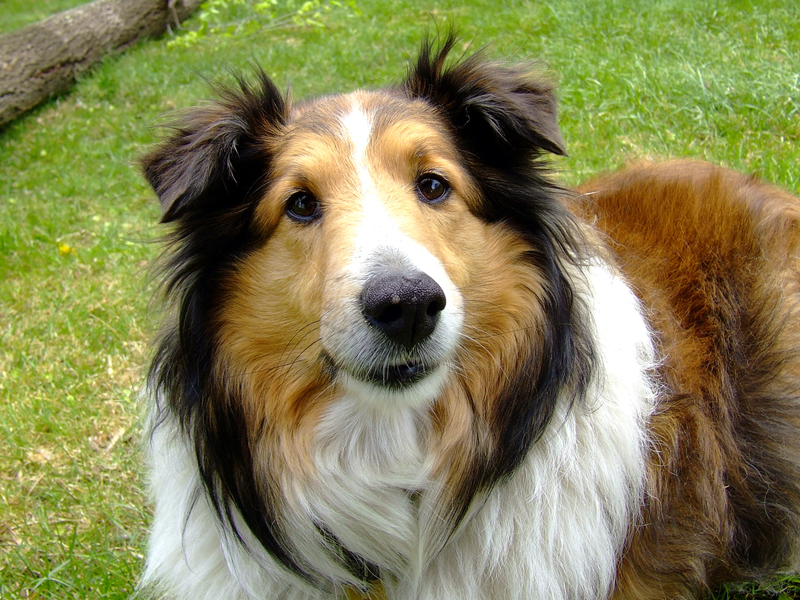 the kindest dog breeds   Collie