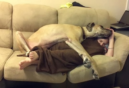 the laziest dog breeds! couch potatoes   Great Dane