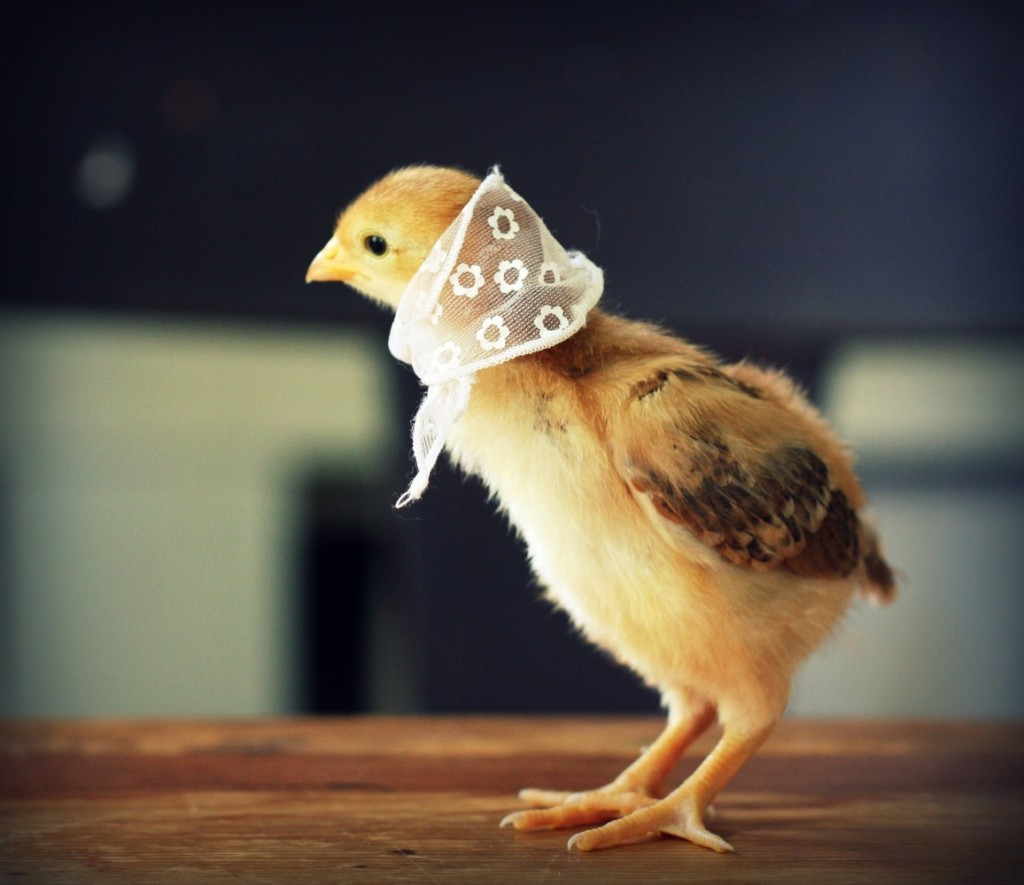 Lovely Chicks in hats never seen chicks cuter than this