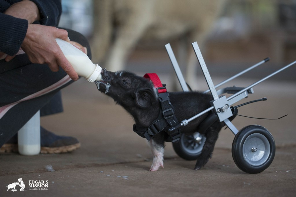 lovely pig wheel chair slaughterhouse saved by tragedy
