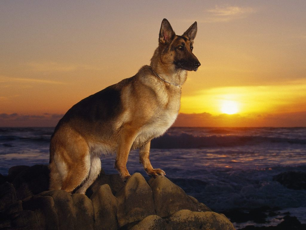 the kindest dog breeds  German Shepherd