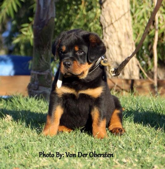 The smartest dog breeds Rottweiler