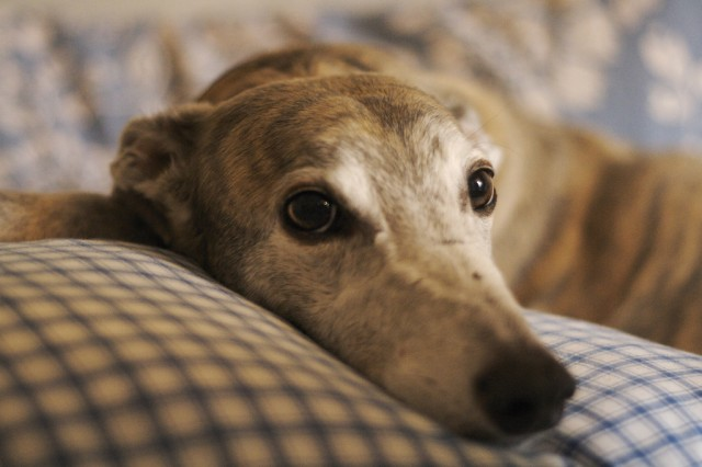 the kindest dog breeds Greyhound