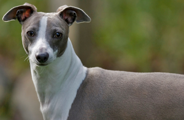 the laziest dog breeds! couch potatoes Italian Greyhound
