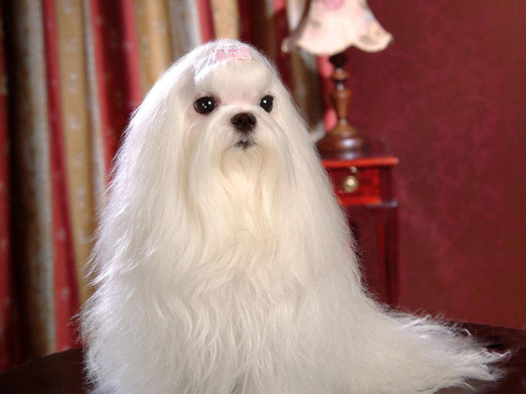 the kindest dog breeds Maltese
