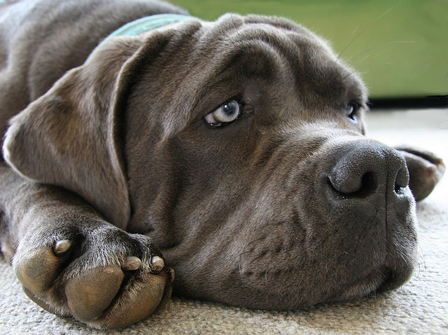 the biggest dogs in the world The Neapolitan Mastiff