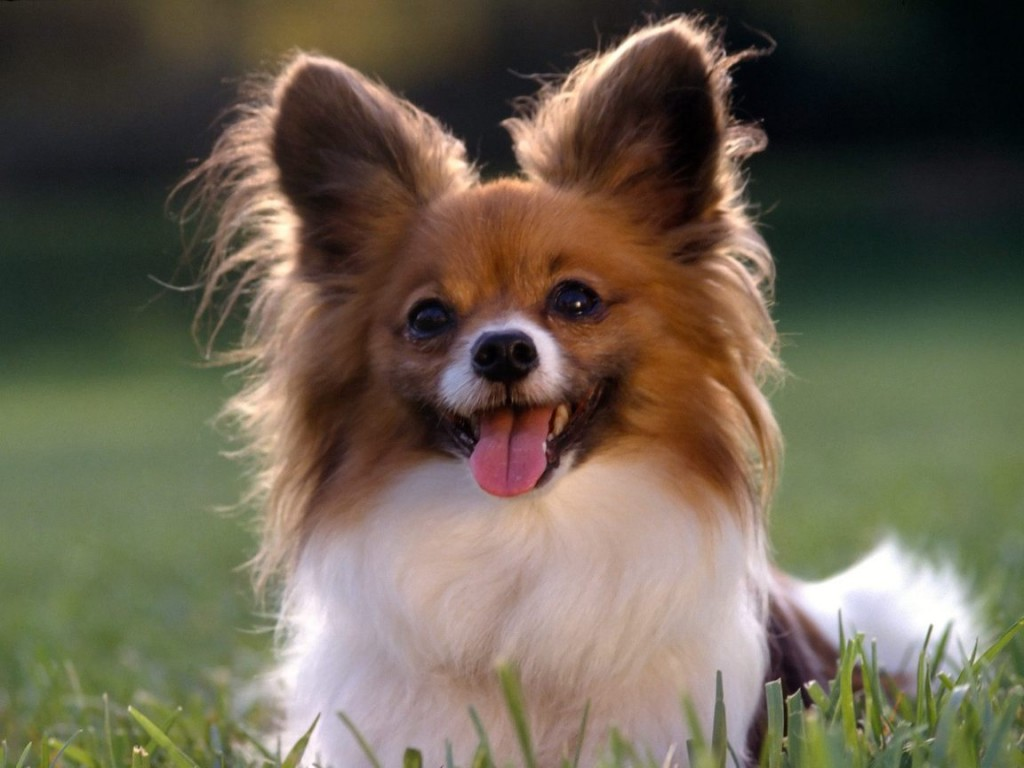 The smartest dog breeds Papillon