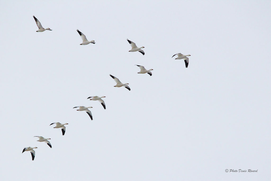 Photograph Snow geese in formation. by Denis Rivard on 500px