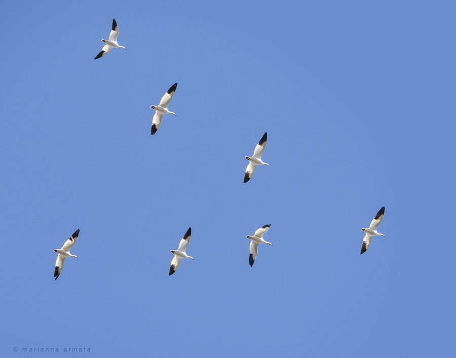 Photograph snow geese migration by Marianna Armata on 500px