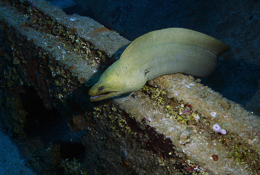 Photograph Green Moray Eel by J.T.  Lewis on 500px