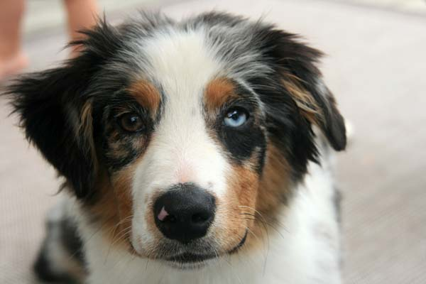 Winnie the Australian Shepherd has heterochromia... and a sweet smile.