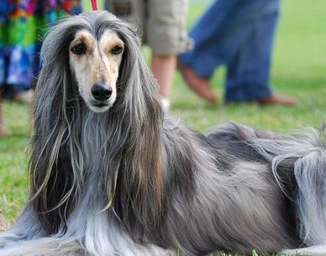 The dumbest dogs ever! Afghan Hound