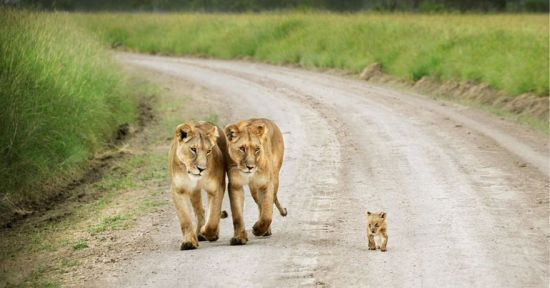 parenting moment  animals love their babies  lioness