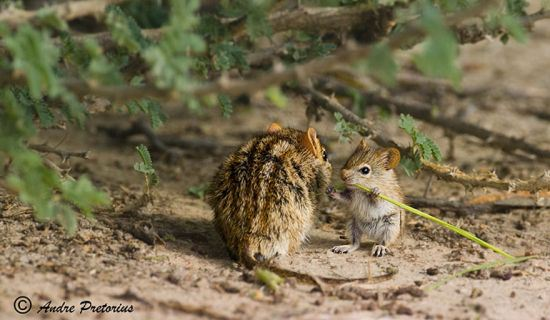 parenting moment  animals love their babies  mouse