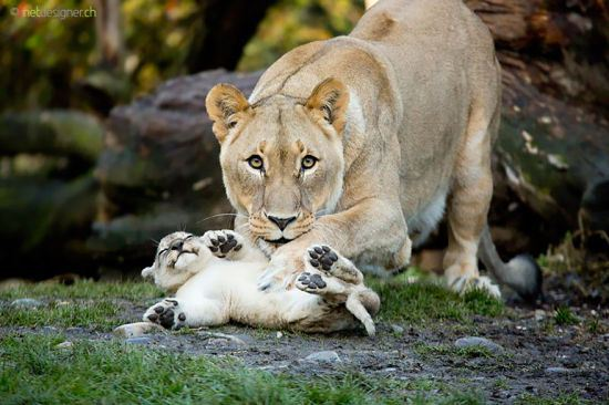 parenting moment  animals love their babies  lions