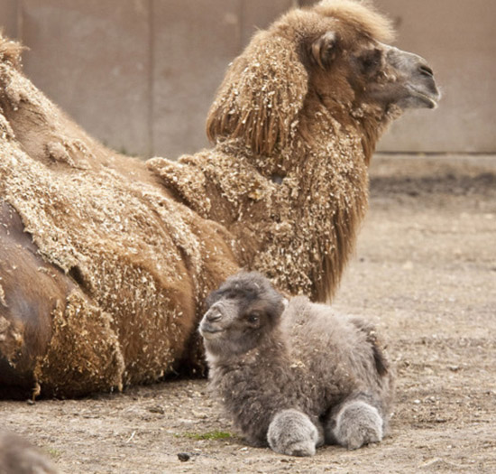 parenting moment  animals love their babies  camel