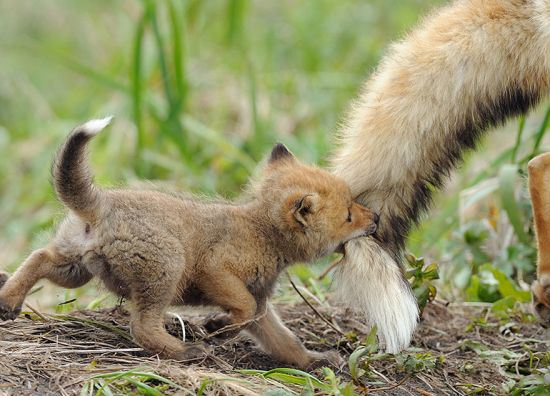 parenting moment  animals love their babies   fox
