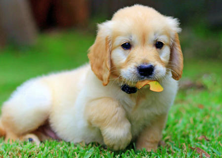 The smartest dog breeds Golden Retriever