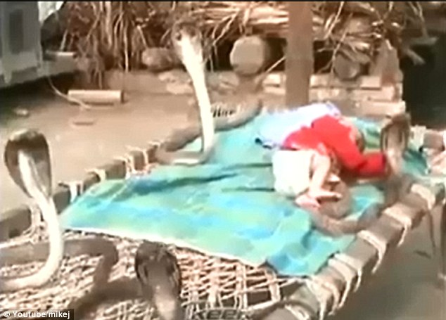 baby sleep soundly when cobra snakes surrounded him,protector