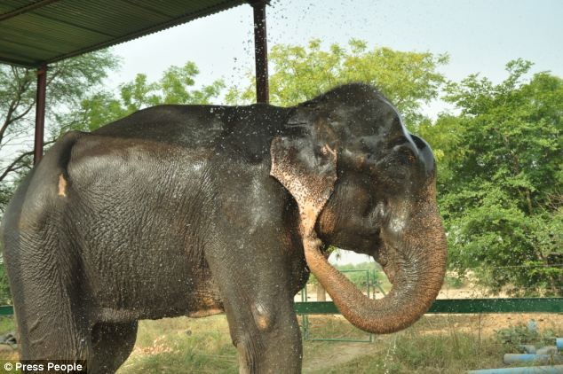 Heartbreaking Pictures Of Raju. After A Long Time Of Abusing, This Elephant Is Finally Free