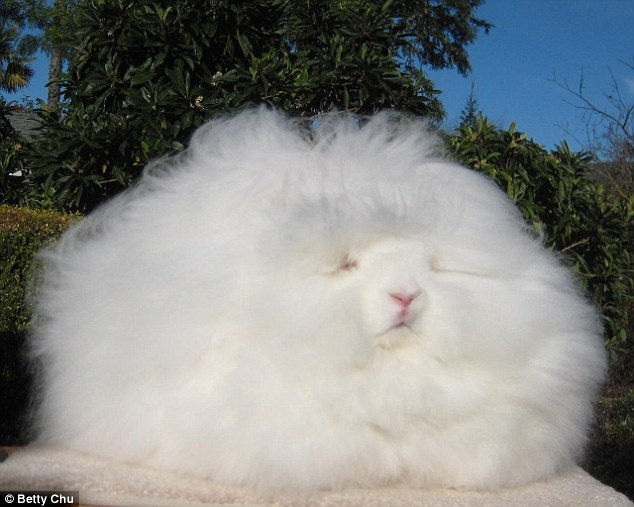 This Is Not A Bundle Of Cotton Or Cloud, It's An Incredibly Fluffy Angora Rabbit!