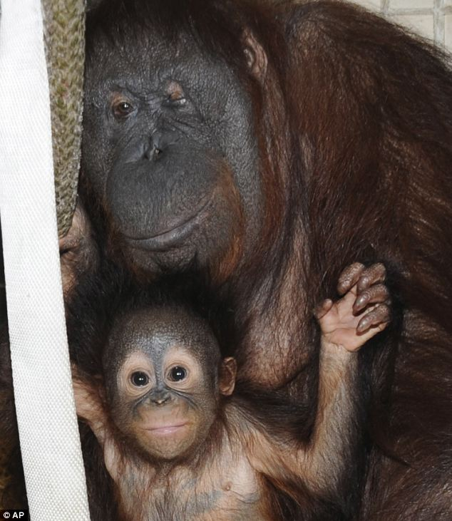 a baby orangutan finally found his 'mother' after being rejected two times