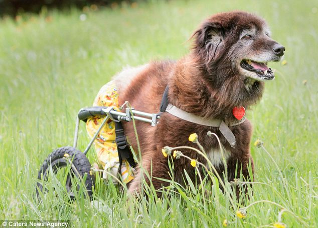 stray dog Ashley learns to walk on wheels after paralyzing