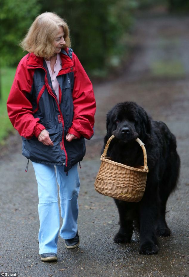 A Talented newfoundland dog Chloe helps her owner cook, clean and tend the garden
